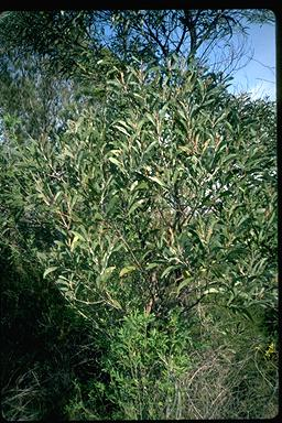 APII jpeg image of Acacia georgensis  © contact APII