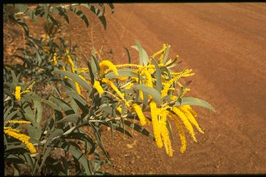 APII jpeg image of Acacia pubifolia  © contact APII