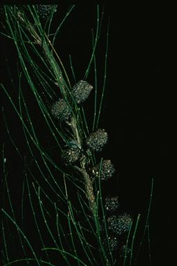 APII jpeg image of Allocasuarina defungens  © contact APII
