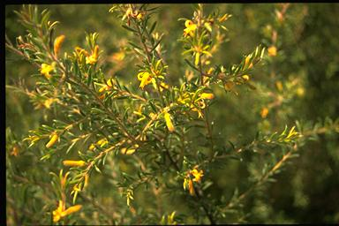 APII jpeg image of Persoonia hirsuta  © contact APII