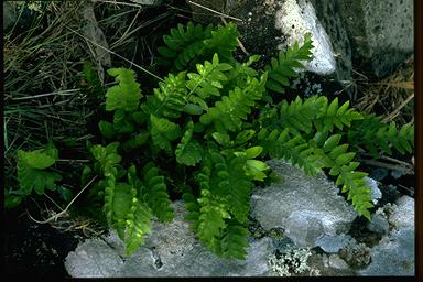 APII jpeg image of Asplenium obtusatum  © contact APII