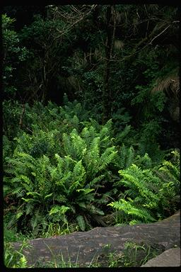 APII jpeg image of Blechnum nudum  © contact APII
