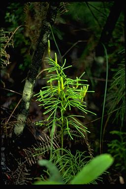 APII jpeg image of Lycopodium deuterodensum  © contact APII