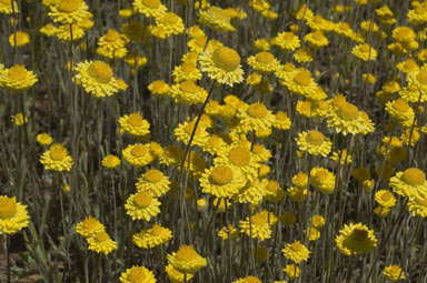 APII jpeg image of Leucochrysum molle  © contact APII