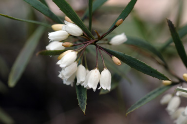 APII jpeg image of Eremophila saligna  © contact APII