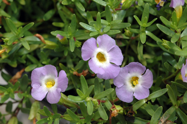 APII jpeg image of Mimulus prostratus  © contact APII