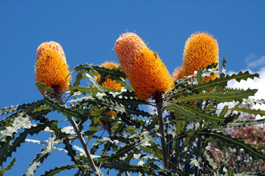 APII jpeg image of Banksia ashbyi  © contact APII