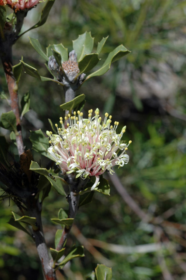 APII jpeg image of Banksia cuneata  © contact APII