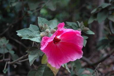 APII jpeg image of Hibiscus splendens hybrid  © contact APII