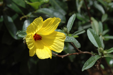 APII jpeg image of Hibiscus divaricatus  © contact APII