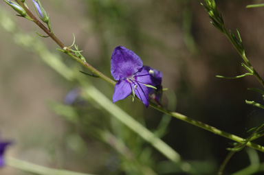APII jpeg image of Veronica arenaria  © contact APII