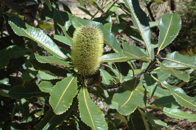 APII jpeg image of Banksia robur  © contact APII