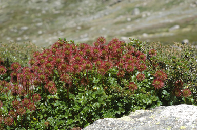 APII jpeg image of Acaena sp. nov.  © contact APII