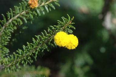 APII jpeg image of Acacia beadleana  © contact APII