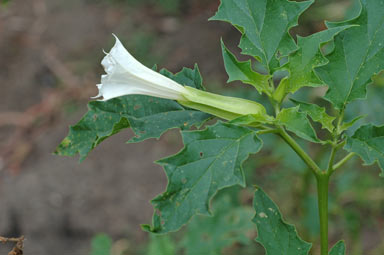 APII jpeg image of Datura stramonium  © contact APII
