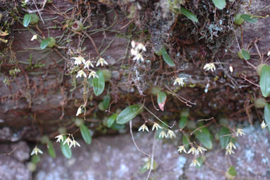 APII jpeg image of Bulbophyllum  © contact APII