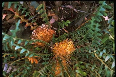APII jpeg image of Banksia octotriginta  © contact APII
