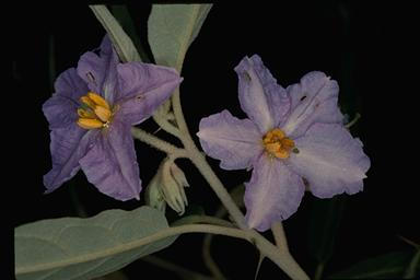 APII jpeg image of Solanum brownii  © contact APII