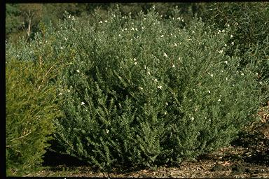 APII jpeg image of Westringia fruticosa  © contact APII