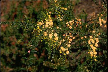 APII jpeg image of Acacia hubbardiana  © contact APII