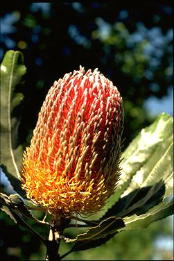 APII jpeg image of Banksia menziesii  © contact APII