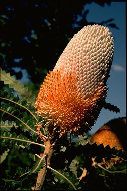 APII jpeg image of Banksia prionotes  © contact APII