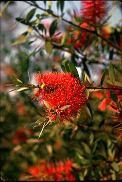 APII jpeg image of Callistemon comboynensis  © contact APII