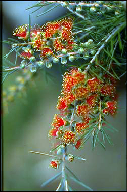 APII jpeg image of Callistemon brachyandrus  © contact APII