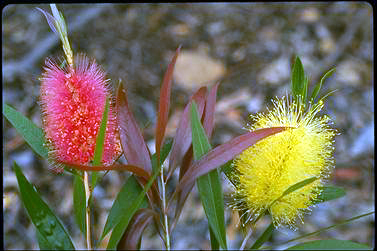 APII jpeg image of Callistemon salignus  © contact APII