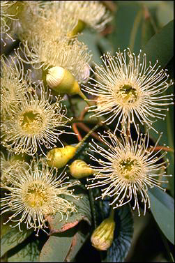 APII jpeg image of Corymbia calophylla  © contact APII