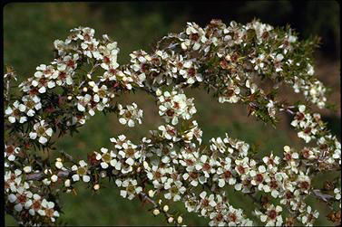 APII jpeg image of Leptospermum juniperinum  © contact APII