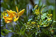 Senna aciphylla - click for larger image