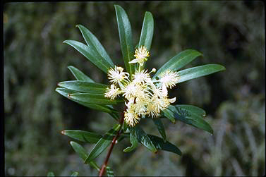 APII jpeg image of Tasmannia stipitata  © contact APII