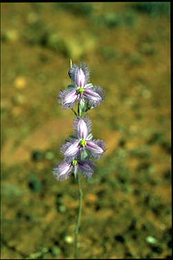 APII jpeg image of Thysanotus baueri  © contact APII