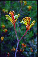 Anigozanthos 'Bush Haze' - click for larger image