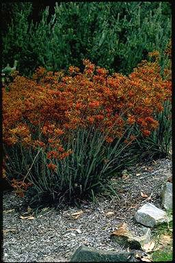 APII jpeg image of Anigozanthos 'Kings Park Federation Flame'  © contact APII