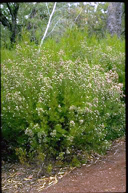 APII jpeg image of Chamelaucium uncinatum 'Snow Flakes'  © contact APII