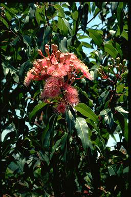 APII jpeg image of Corymbia 'Summer Beauty'  © contact APII
