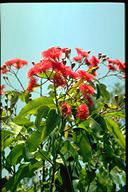 Eucalyptus 'Summer Red' - click for larger image