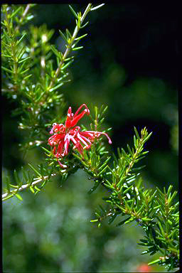 APII jpeg image of Grevillea 'Allyn Radiance'  © contact APII
