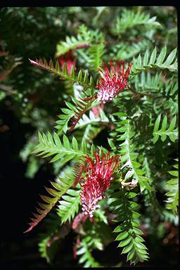 APII jpeg image of Grevillea 'Boongala Spinebill'  © contact APII