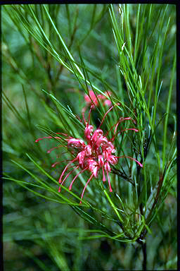 APII jpeg image of Grevillea 'Elegance'  © contact APII