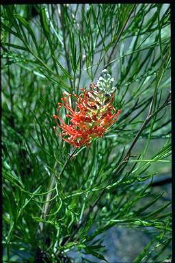 APII jpeg image of Grevillea 'Jester'  © contact APII