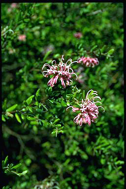 APII jpeg image of Grevillea 'Little Miss Muffit'  © contact APII