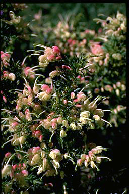 APII jpeg image of Grevillea 'Pink Pixie'  © contact APII