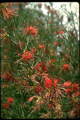 APII jpeg image of Grevillea 'Winpara Gem'  © contact APII