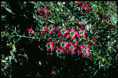 APII jpeg image of Leptospermum 'Daydream'  © contact APII