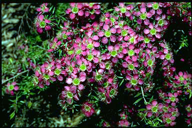 APII jpeg image of Leptospermum 'Pageant'  © contact APII