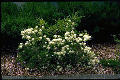APII jpeg image of Melaleuca 'Seafoam'  © contact APII