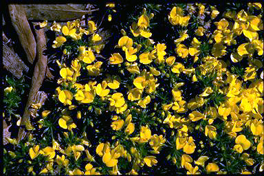 APII jpeg image of Pultenaea pedunculata 'Pyalong Gold'  © contact APII